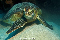 green turtle by Sven Ter Mul