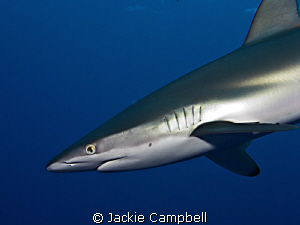 Silky shark . We had a number of very fun dives with the... by Jackie Campbell