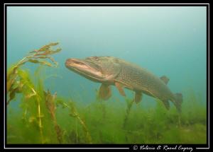 Quiet Pike by Raoul Caprez