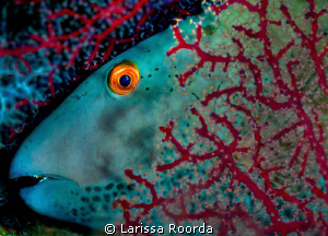 Parrotfish at rest.  105mm by Larissa Roorda