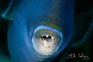 Trigger Fish - A Little Too Close! by Julian Cohen