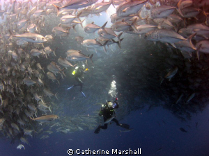 Diver within baitball, Cocos Island. by Catherine Marshall