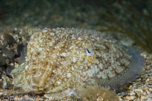 Cuttlefish. Plymouth. D3, 60mm. by Derek Haslam
