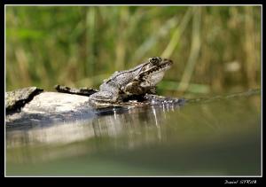Frog ... by Daniel Strub