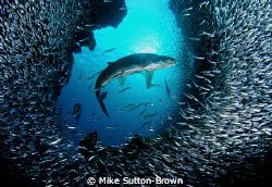 Tarpon & Silversides at Eden Rock, Grand Cayman by Mike Sutton-Brown