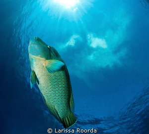 "Napoleon Wrasse.  ""A Little Slice of Heaven"".   Tokina 10... by Larissa Roorda"