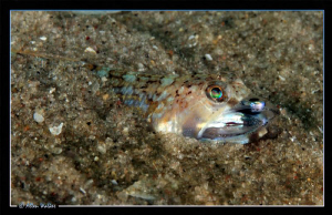 This Juvenile Lizard Fish was only about 5cm in length (s... by Allen Walker