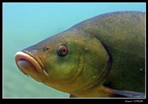 Close up of a tench in a small pond close to home :-D by Daniel Strub