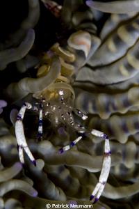 Anilao shrimp by Patrick Neumann