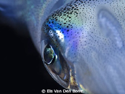 Close-up: Eye of a squid by Els Van Den Borre