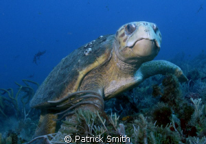 Lots of turtles off of Jupiter Florida this time of year. by Patrick Smith