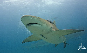 Lemon Sharks in large numbers populate Tiger Beach not fa... by Steven Anderson