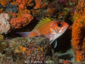 A squirrel fish taking a peek at me on a reef off Jupiter... by Patrick Smith
