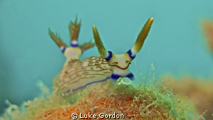 Nembrotha lineolata nudibranch enjoying an afternoon stro... by Luke Gordon