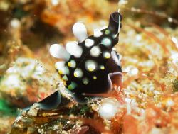 Cowrie shell camouflaged as a nudibranch.