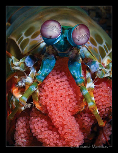 Mantis shrimp with eggs by Aleksandr Marinicev