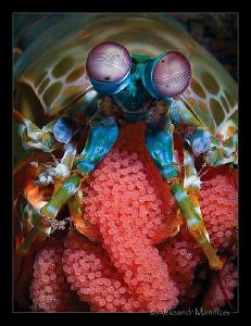 Mantis shrimp eggs