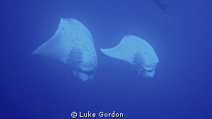 Two Manta's dancing!!! Jim's Alley again!! by Luke Gordon