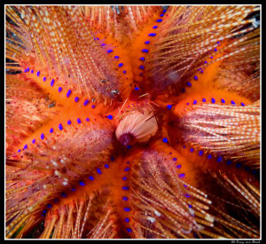 urchin by Dray Van Beeck