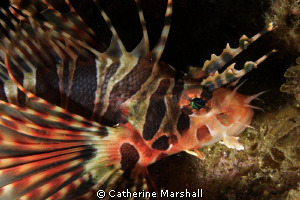 Juvenile lionfish, Byron Bay. Taken with a demo Canon 7D ... by Catherine Marshall