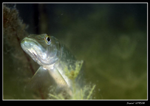 ... An other pike in the pond :-D ... by Daniel Strub