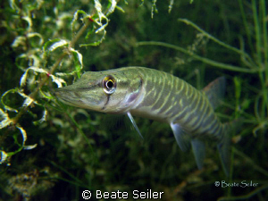 Baby pike , Canon G10 by Beate Seiler