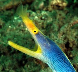 Who are you laughing at!  Blue ribbon eel, North Sulawe... by Beverly Speed