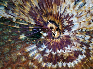 """Indian Fan Worm""