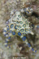 Blue Ring Octopus Found in Derawan Jetty  by Eunice Effendi