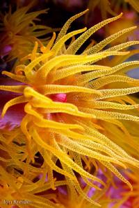 Yellow soft coral bloom at night by Jon Kreider