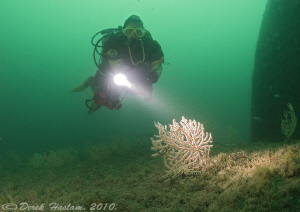 Pink sea fan on the Persier wreck. Plymouth. D3, 16mm. by Derek Haslam