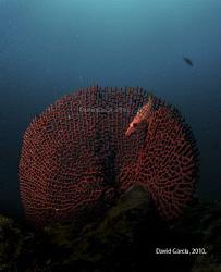 Longnose hawkfish (Oxycirrhites typus) @ Isla del Caño, O... by David Garcia Fonseca