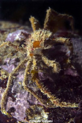 spider or crab? by Claudio Stoppato