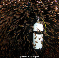 Diver surrounded glassfish inside Cod Hole Julian Rocks Byron Bay Australia