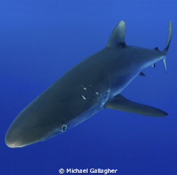 BUMP! A silky shark comes in to bump my dome port - if yo... by Michael Gallagher