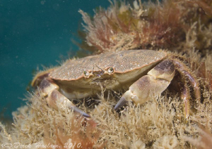 Edible crab. Trefor pier. D3, 60mm. by Derek Haslam