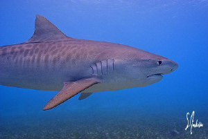 One of 5 Tiger Sharks which visited us on this particular... by Steven Anderson