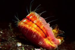 Scallop photographed in the San Juan Islands, Puget Sound... by Glenn Cummings