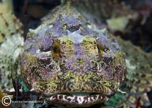 Long-spined Scorpion fish. Connemara, June 2010. D3 105mm. by Mark Thomas