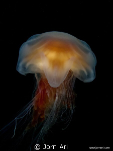 Lion's mane jellyfish (Cyanea capillata)