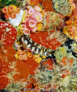 Clam with sponge and corals .Taken on the wreck of the Ro... by Patrick Smith