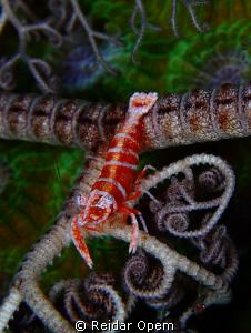 Basket star shrimp (Periclimenes lanipes) by Reidar Opem