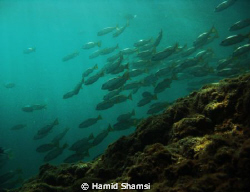 School of fish in afternoon by Hamid Shamsi