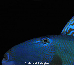Triggerfish at night in the Egyptian Red Sea - playing ar... by Michael Gallagher