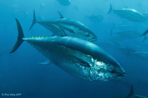 Bluefin Tuna schooling inside a fish farm off the Island ... by Paul Colley
