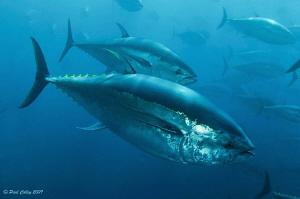 Bluefin Tuna schooling inside a fish farm off the Island ... by Paul Colley