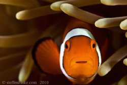 Clownfish by Steffen Binke