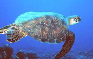 Hawksbill Turtle taken off the Kona Coast of Hawaii with ... by John H. Fields
