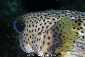 Pufferfish, Byron Bay, taken with a demo Canon 7D by Catherine Marshall