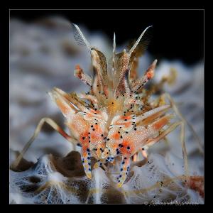 Tiger shrimp by Aleksandr Marinicev